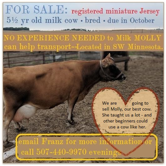 $3500; registered miniature Jersey cow for sale