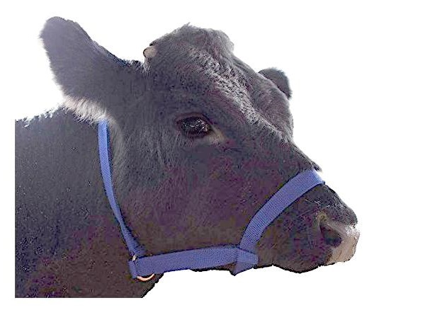 derby calf halter
