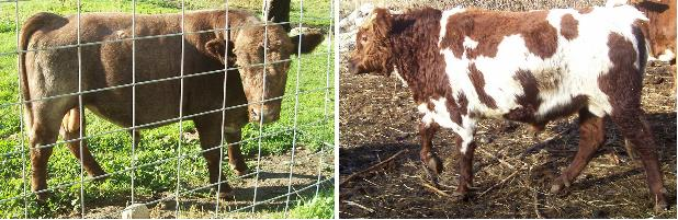 miniature shorthorn bulls