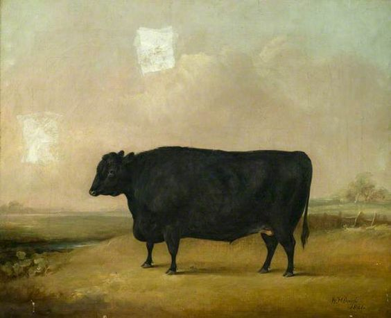 vintage breeds of miniature cattle