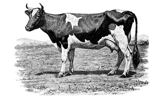 the Holstein Friesian