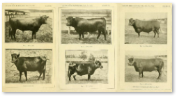 breeds of miniature cattle