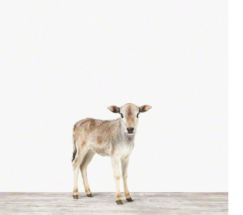 miniature Zebu calf