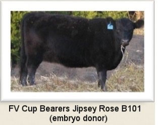 Jipsey Rose pure Scotch Angus bloodline
